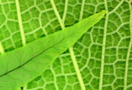 Fern Angio Leaf